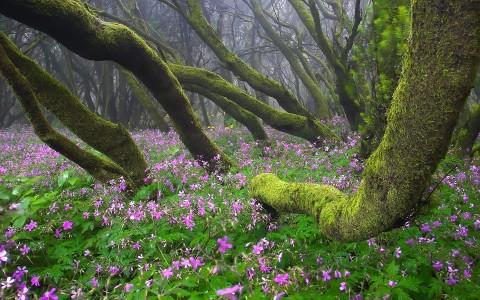 Floración en Garajonay